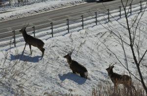 3頭の牡鹿
