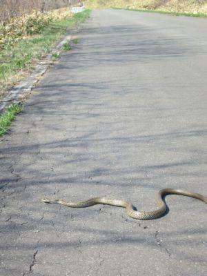~>゚)~~~ ヘビ