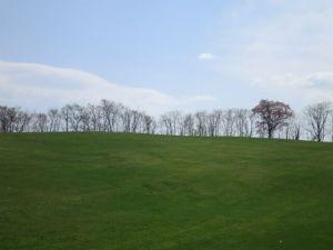 牧草地にポツンと立つ山桜