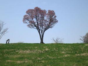 大きな山桜