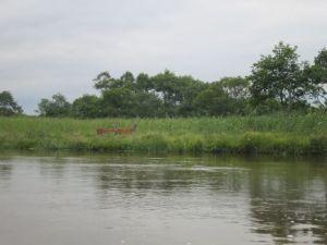 釧路川に鹿