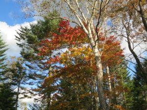 大きな楓の木