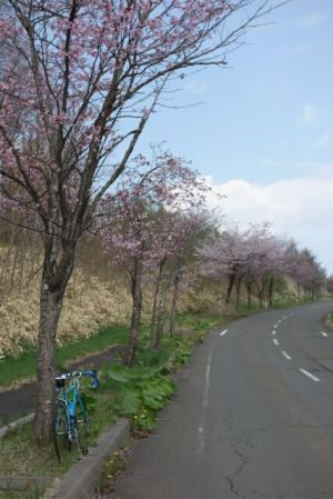 沿道の山桜