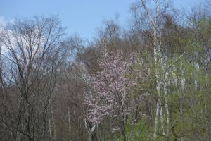 山の中の桜