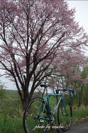 恒例の桜とQUARK
