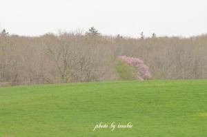 山桜は、遠目の方が綺麗です