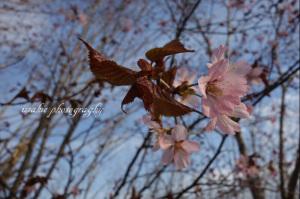 慎まやかな咲き方が山桜らしい