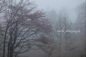 霧の中のエゾヤマザクラ