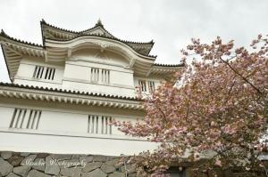 大多喜城と八重桜